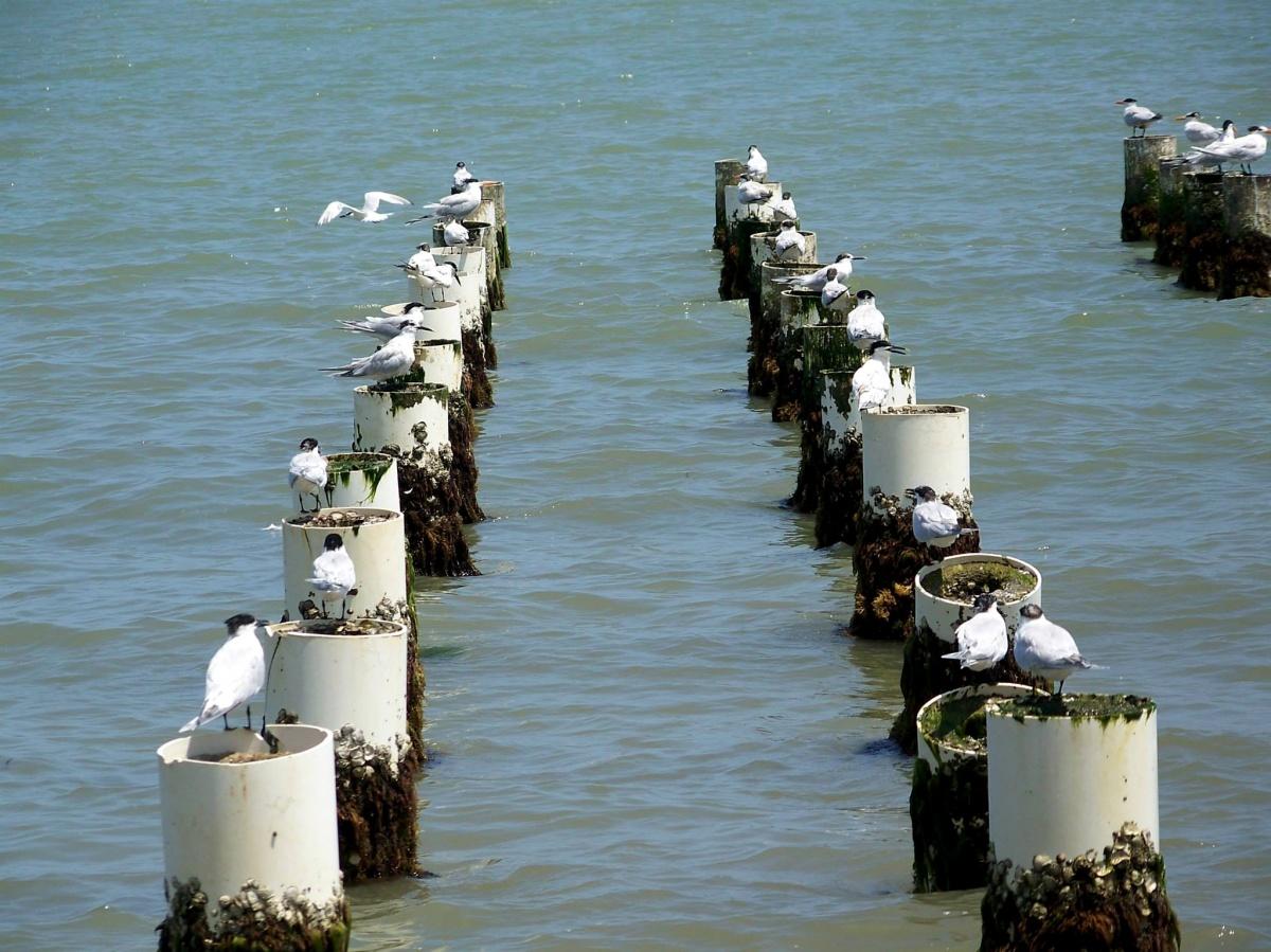 Fauna - Pájaros de Playa - San Antero - Colombia