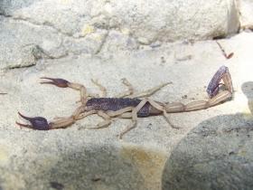 Escorpión - Colombia