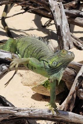 Johnny Cay - Iguana