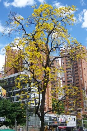 Medellín - Guayacán Amarillo