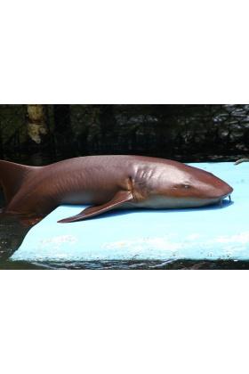 Tiburón Gato o Nodriza - Islas del Rosario - Colombia